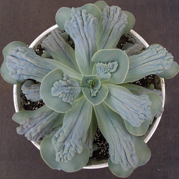Echeveria cv. 'Paul Bunyan'(зразок)