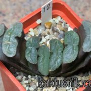 Haworthia truncata -Japan- 12