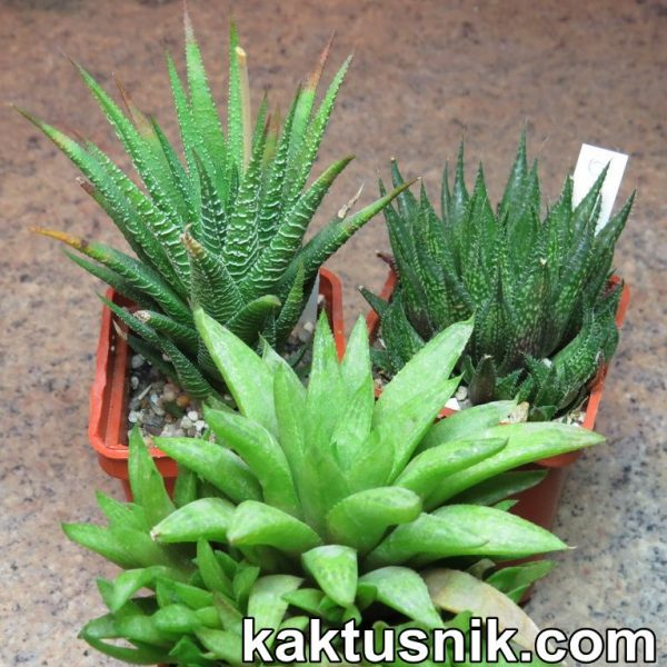 Haworthia mix 6