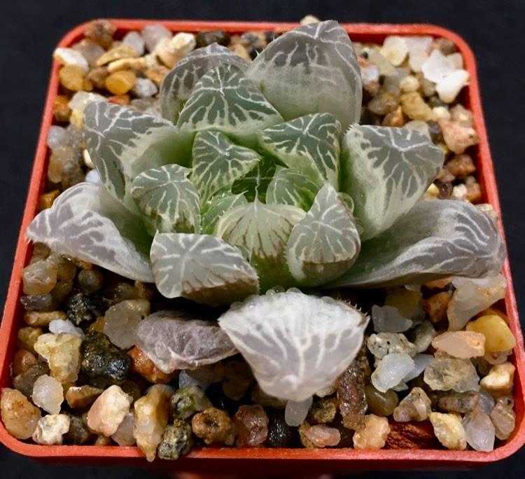 9-5 Haworthia cooperi f.variegata