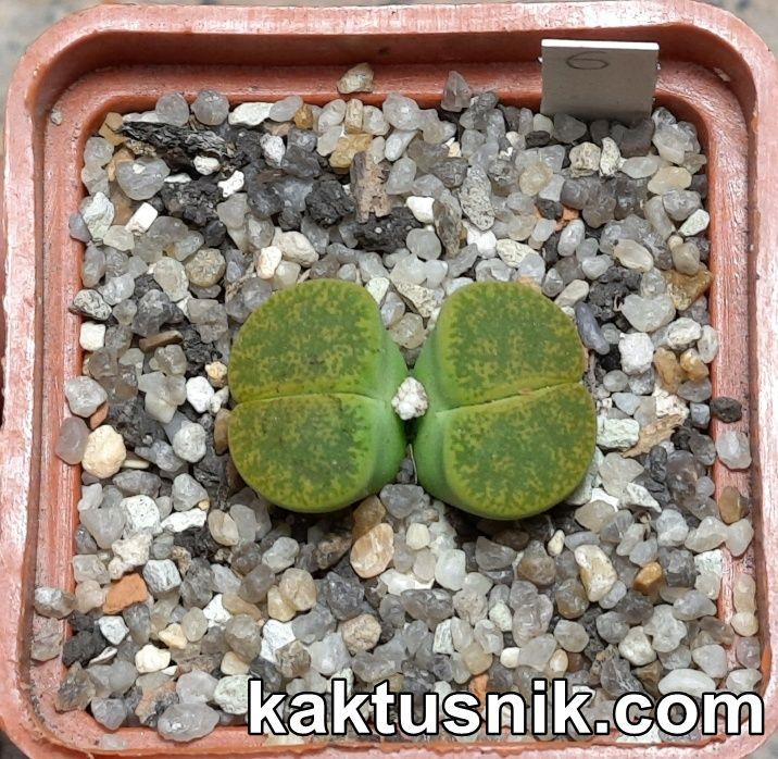 Lithops lesliei v. albinica 6