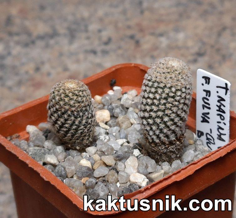 Thelocephala napina v.glabrescens f.fulva -Qvebrada Baratillo-_